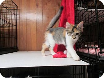 Domestic Mediumhair Kitten for adoption in Media, Pennsylvania - Tia