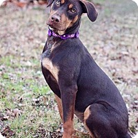 Doberman Pinscher Mix Dog for adoption in Fort Worth, Texas - Caroline