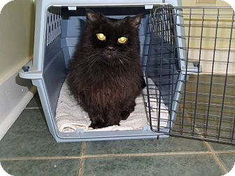 Domestic Longhair Cat for adoption in Henderson, North Carolina - Ember