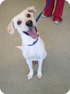 Labrador Retriever Mix Dog for adoption in Cleveland, Mississippi - RILEY