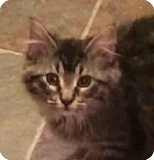 Domestic Longhair Kitten for adoption in McHenry, Illinois - Olivia