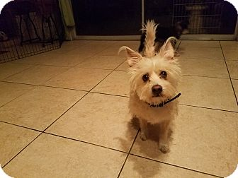Westie, West Highland White Terrier/Cairn Terrier Mix Dog for adoption in San Dimas, California - Sammy