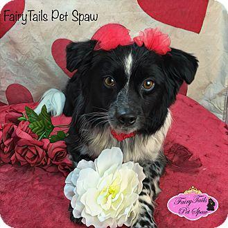 Australian Shepherd Mix Dog for adoption in Mt Sterling, Kentucky - Roxie