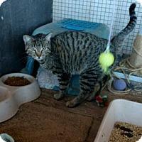 Adopt A Pet :: Tiger Lily - Tonopah, AZ