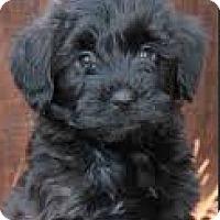 Adopt A Pet :: Izzy-ADOPTION PENDING - Boulder, CO