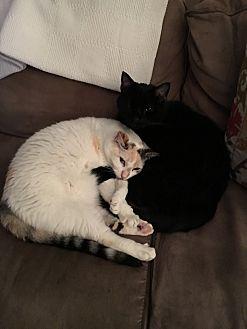 Siamese Cat for adoption in Saint Louis, Missouri - Bella