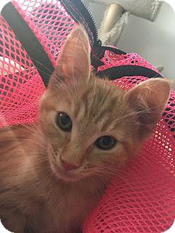 Domestic Shorthair Kitten for adoption in Scottsdale, Arizona - Nugget