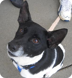 Rat Terrier Mix Dog for adoption in Ashland, Virginia - Burke-ADOPTED!!!