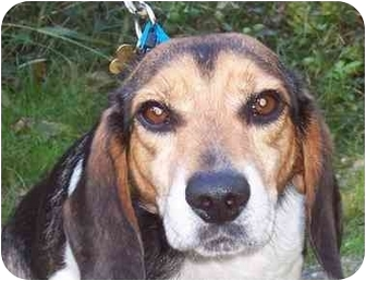 Beagle Dog for adoption in Ventnor City, New Jersey - HEATH