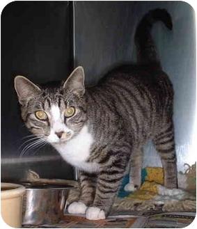Domestic Shorthair Cat for adoption in Honesdale, Pennsylvania - Opus