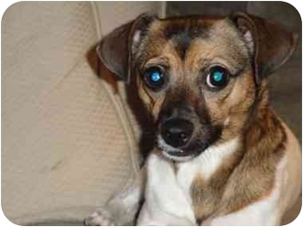 Jack Russell Terrier Mix Dog for adoption in Long Beach, New York - Gucci