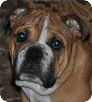 English Bulldog Puppy for adoption in Pearland, Texas - Thumper