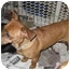 Photo 3 - Dachshund/Jack Russell Terrier Mix Dog for adoption in Encino, California - SHANNON