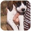 Photo 1 - Bloodhound/Coonhound (Unknown Type) Mix Puppy for adoption in Vine Grove, Kentucky - Duke