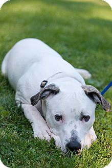 American Bulldog Mix Puppy for adoption in Reisterstown, Maryland - Jake