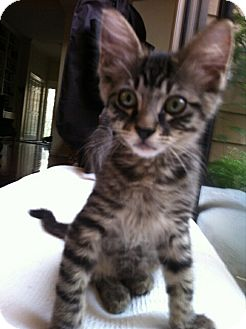 Domestic Mediumhair Kitten for adoption in Houston, Texas - Tallie