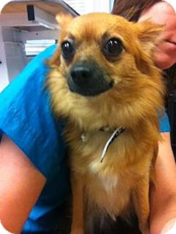 Chihuahua/Pomeranian Mix Dog for adoption in Mary Esther, Florida - Abby *courtesy listing*