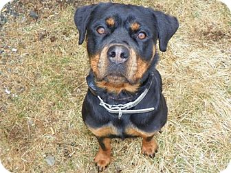 Rottweiler Dog for adoption in Rexford, New York - Athena