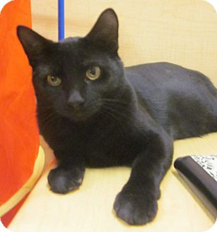 Domestic Shorthair Cat for adoption in McHenry, Illinois - Kirby