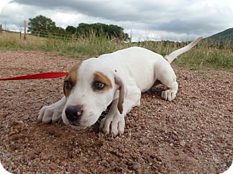 Blue Heeler/Hound (Unknown Type) Mix Puppy for adoption in Westminster, Colorado - Jefferson