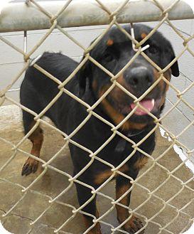 Rottweiler Dog for adoption in Sumter, South Carolina - KENNEL #30