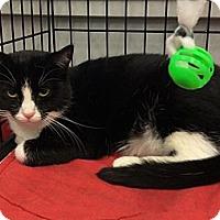 Adopt A Pet :: Checkers - Port Republic, MD