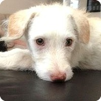 Adopt A Pet :: ANDY - Mission Viejo, CA