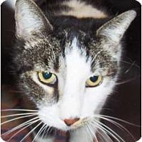 Adopt A Pet :: Big Boy - Chandler, AZ