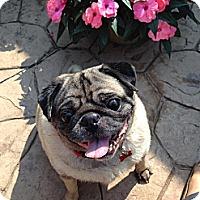 Adopt A Pet :: Frank - Walled Lake, MI