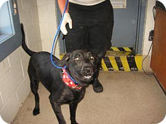 Labrador Retriever Dog for adoption in Tyner, North Carolina - Joker