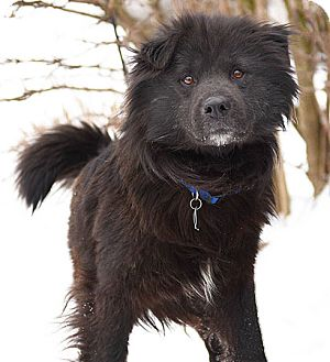 Chow Chow Mix Dog for adoption in Port Washington, New York - Peter