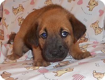 Shepherd (Unknown Type) Mix Puppy for adoption in Warrenton, North Carolina - Mindy and Cindy