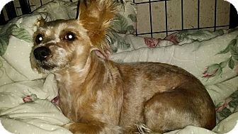 Yorkie, Yorkshire Terrier/Cairn Terrier Mix Dog for adoption in Homestead, Florida - Luzey