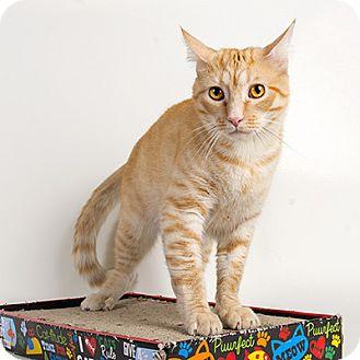 Domestic Shorthair Cat for adoption in Wilmington, Delaware - Don Gato