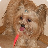 Adopt A Pet :: Silky - dewey, AZ