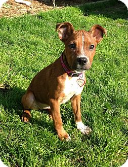 Pit Bull Terrier Mix Puppy for adoption in Buffalo, New York - Heidi
