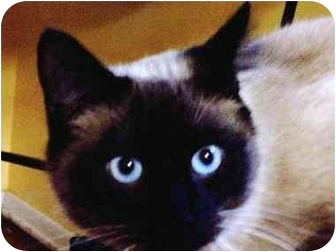 Siamese Cat for adoption in cincinnati, Ohio - Shiraco