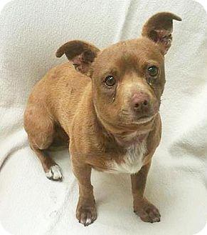 Chihuahua Mix Dog for adoption in Spokane, Washington - Coco
