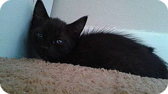 Domestic Shorthair Kitten for adoption in Tampa, Florida - Liberty