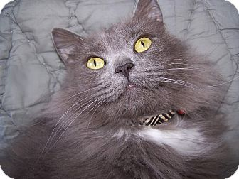 Maine Coon Cat for adoption in Carlisle, Pennsylvania - OsbourneCP