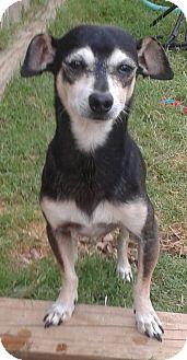Chihuahua Mix Dog for adoption in Manhattan, Kansas - Mr. Miyagi