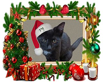 American Shorthair Cat for adoption in Rochester, New York - TY