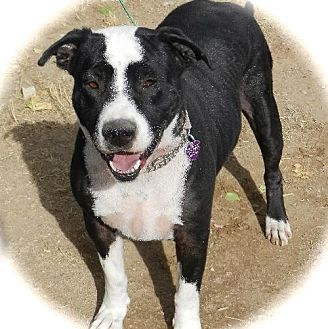 Boxer/American Staffordshire Terrier Mix Dog for adoption in Anaheim, California - Romeo