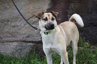 Shepherd (Unknown Type)/Chow Chow Mix Dog for adoption in Pulaski, Tennessee - Vali