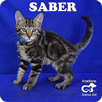 Domestic Shorthair Kitten for adoption in Carencro, Louisiana - Saber