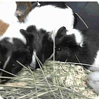 Adopt A Pet :: *Urgent* 8 guinea pigs - Fullerton, CA