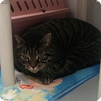 Domestic Shorthair Cat for adoption in Medfield, Massachusetts - Bubba