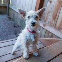 Adopt A Pet :: Ollallie - Eugene, OR