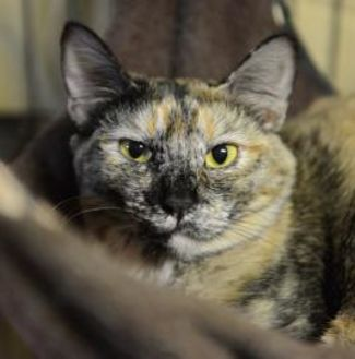 Domestic Shorthair/Domestic Shorthair Mix Kitten for adoption in Muskegon, Michigan - Lacy