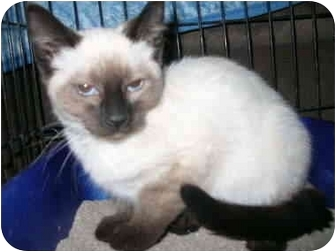 Siamese Kitten for adoption in Davis, California - Maui